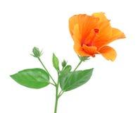 Hibiscusblume lokalisiert auf einem Reinweiß Lizenzfreies Stockfoto