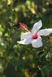 Hibiscusblume - Malvaceae Lizenzfreie Stockbilder