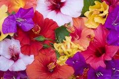 Hibiscusblumen Lizenzfreie Stockfotografie