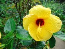 Hibiscusblumen, Baumwolllaterne lizenzfreies stockbild