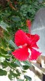 Hibiscusblumen, Hibiscus, rosafarbene Malve Stockbilder