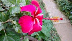 Hibiscusblumen, Hibiscus, rosafarbene Malve Lizenzfreies Stockbild
