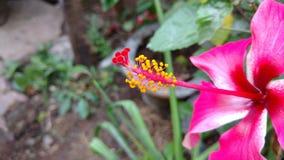 Hibiscusblumen, Hibiscus, rosafarbene Malve Stockbild