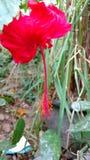 Hibiscusblumen, Hibiscus, rosafarbene Malve Lizenzfreies Stockfoto