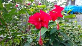 Hibiscusblumen, Hibiscus, rosafarbene Malve Lizenzfreie Stockbilder