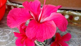 Hibiscusblumen, Hibiscus, rosafarbene Malve Stockfotos
