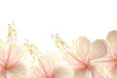 Hibiscusblumen-Randhintergrund des Tageslichtes rosafarbener Stockfoto