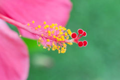 Hibiscusblumenblütenstaub stockfotografie