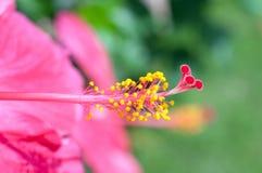 Hibiscusblumenblütenstaub stockfoto