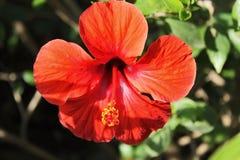 Hibiscusblumenmakro Stockbilder