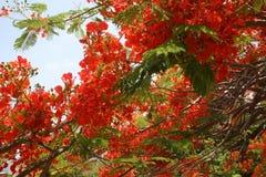 Hibiscusboom Royalty-vrije Stock Fotografie