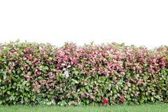 Hibiscuse bepflanzen lokalisiert auf weißem Hintergrund mit Büschen Stockfotografie