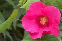 Hibiscuse blühen im rosa Schatten im Garten in Australien Lizenzfreies Stockfoto