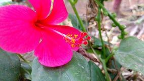 Hibiscuse blühen Nahaufnahme, Hibiscus, rosafarbene Malve Lizenzfreie Stockfotografie