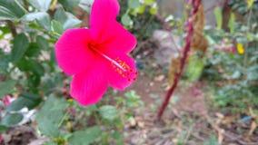 Hibiscuse blühen Nahaufnahme, Hibiscus, rosafarbene Malve Stockbild
