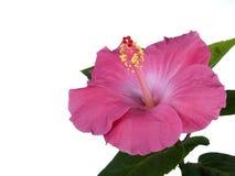 Hibiscuse zacken getrennt aus Lizenzfreie Stockfotografie