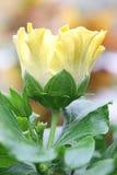 Hibiscusmacro Royalty-vrije Stock Afbeeldingen