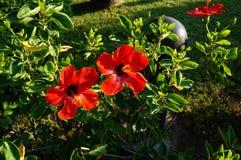 Hibiscusrood stock afbeeldingen