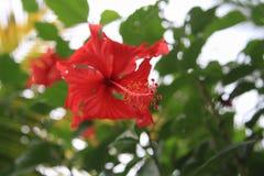 Hibiscusrosa bloem Royalty-vrije Stock Foto's