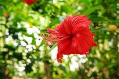 """Hibiscusrosa--sinensis†""""die am allgemeinsten gefundenen Spezies von Hibiscusen in Malaysia-†""""wurde unsere nationale Blume im  stockfotos"""