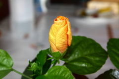 Hibiscusrosa sinensis Stock Fotografie