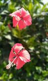 Hibiscusrosa sinunsis Royalty-vrije Stock Afbeeldingen
