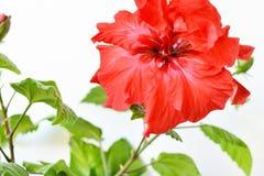 Hibiscusrotblume Stockfoto
