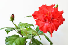 Hibiscusrotblume Stockbild