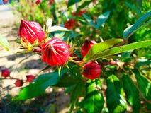 Hibiscussabdariffa is rood royalty-vrije stock afbeelding