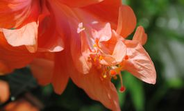 Hibiscusstaubgefäß stockfoto