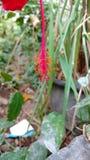 Hibiscusstempel, Hibiscus, rosafarbene Malve Lizenzfreie Stockfotografie