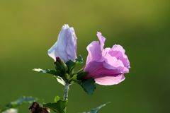 Hibiscussyriacus of nam van de gevormde bloem van Sharon trompet en bloemknop toe op lichtgroene bladerenachtergrond royalty-vrije stock afbeeldingen