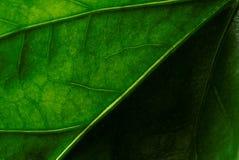 Hibiscusverlof Stock Fotografie