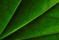 Hibiscusverlof Stock Afbeeldingen