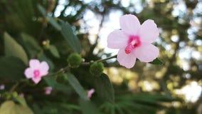 Hibiscuswijnstok Royalty-vrije Stock Fotografie