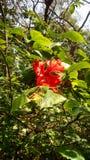 Hibisicus Flower Image stock photography