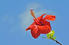 Hibiskus. Blossom of a red hibiscus in front of a blue sky Stock Photos