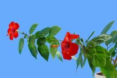 hibiskus Royaltyfri Foto
