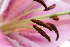 hibiskus Obrazy Royalty Free