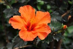 hibiskus Royaltyfria Bilder