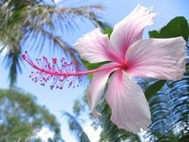 hibiskus Royaltyfri Fotografi