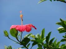 hibiskus fotografering för bildbyråer