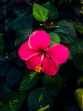 hibiskus Royaltyfria Foton