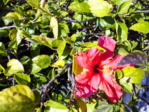 hibiskus Arkivfoto
