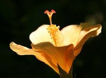 Hibiskus-Blüte Stockbild