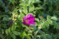 Hibiskus-Blüte mit Biene Lizenzfreie Stockfotografie