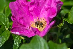 Hibiskus-Blüte mit Biene Lizenzfreie Stockbilder