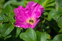 Hibiskus-Blüte mit Biene Stockbilder