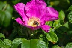 Hibiskus-Blüte mit Biene Stockfotos
