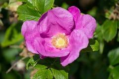 Hibiskus-Blüte mit Biene Stockbild